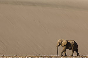 African Elephant (Loxodonta africana) walking in river bed in front of large sand dune, Hoarusib River, Namib Desert, Namibia - Theo Allofs