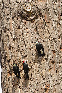 Acorn Woodpecker (Melanerpes formicivorus) male and females on trunk littered with their holes, Monterey, California  -  Norbert Wu
