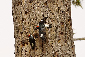 Acorn Woodpecker (Melanerpes formicivorus) male and females at nest cavity to communally take care of chicks, Monterey, California  -  Norbert Wu