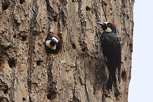 Acorn Woodpecker (Melanerpes formicivorus) male at nest cavity with female looking out, Monterey, California  -  Norbert Wu
