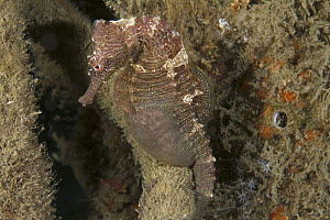 Spotted Seahorse (Hippocampus erectus) male brooding eggs, West Palm Beach, Florida - Norbert Wu