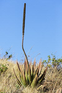 Aloe (Aloe macroclada) with dead flowering stalk, Andringitra National Park, Madagascar - Konrad Wothe
