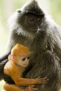 Silvered Leaf Monkey (Trachypithecus cristatus) mother and young, Sabah, Borneo, Malaysia - Sebastian Kennerknecht