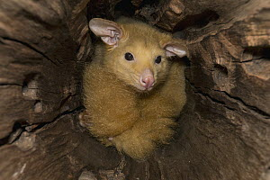 Common Brush-tailed Possum (Trichosurus vulpecula), Lone Pine Koala Sanctuary, Brisbane, Australia - ZSSD
