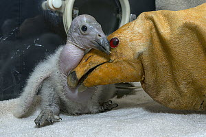 California Condor (Gymnogyps californianus) chick with puppet used in hand rearing the chick, native to North America  -  ZSSD