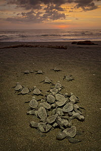 Olive Ridley Sea Turtle (Lepidochelys olivacea) hatchlings emerging from the nest and making their way to the sea at sunrise, Ostional Beach, Costa Rica - Ingo Arndt