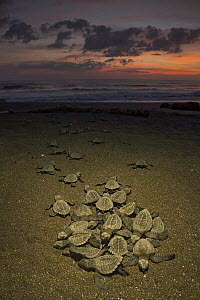 Olive Ridley Sea Turtle (Lepidochelys olivacea) hatchlings emerging from nest and making their way to the sea at sunrise, Ostional Beach, Costa Rica - Ingo Arndt