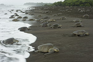 Olive Ridley Sea Turtle (Lepidochelys olivacea) females coming ashore to lay eggs during an arribada nesting event, Ostional Beach, Costa Rica  -  Roland Seitre