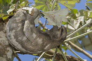 Brown-throated Three-toed Sloth (Bradypus variegatus) feeding on leaf, native to Central and South America  -  Roland Seitre