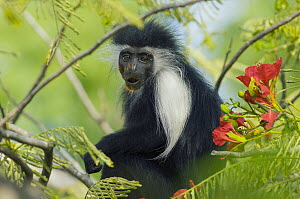 Peters's Angola Colobus (Colobus angolensis palliatus) covered in pollen, native to Africa - Roland Seitre