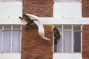 Chacma Baboon (Papio ursinus) pair playing with stolen curtains from building, South Africa - Cyril Ruoso