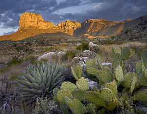 Opuntia (Opuntia sp) cactus and Agave (Agave sp) near El Capitan, Guadalupe Mountains National Park, Chihuahuan Desert, Texas  -  Tim Fitzharris