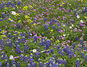 Sand Bluebonnet (Lupinus subcarnosus), Pointed Phlox (Phlox cuspidata), White Prickly Poppy (Argemone albiflora), and Squaw-weed (Senecio aureus) flowers, Hill Country, Texas  -  Tim Fitzharris