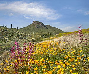 Mexican Golden Poppy (Eschscholzia glyptosperma) flowering, Gonzales Pass, Sonoran Desert, Arizona - Tim Fitzharris