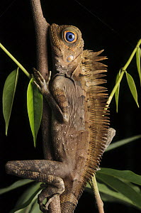 Tropical Forest Dragon (Gonocephalus liogaster) male at night, Kubah National Park, Borneo, Malaysia  -  Chien Lee