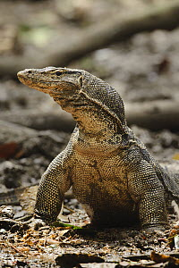 Common Water Monitor (Varanus salvator), Kinabatangan Wildlife Sanctuary, Borneo, Malaysia - Chien Lee