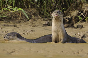 Indian Smooth-coated Otter (Lutrogale perspicillata) pair in shallow water, Kinabatangan Wildlife Sanctuary, Borneo, Malaysia - Chien Lee