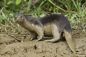 Indian Smooth-coated Otter (Lutrogale perspicillata) covered with mud, Kinabatangan Wildlife Sanctuary, Borneo, Malaysia - Chien Lee