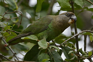 Brown-headed Parrot (Poicephalus cryptoxanthus) feeding on fruit, Kruger National Park, South Africa  -  Chien Lee