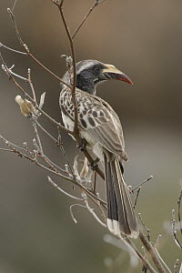 African Grey Hornbill (Tockus nasutus) female, Kruger National Park, South Africa  -  Chien Lee