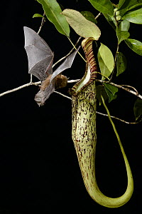 Hardwicke's Woolly Bat (Kerivoula hardwickii) arriving at Pitcher Plant (Nepenthes hemsleyana) pitcher to roost, Brunei  -  Chien Lee