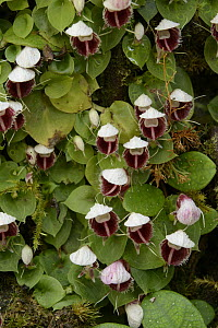 Helmet Orchid (Corybas carinatus) flowering in montane forest, Gunung Penrissen, Borneo, Malaysia  -  Chien Lee