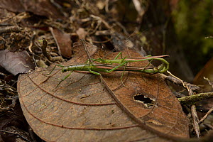 Stick Insect (Chlorobistus sp) pair mating, Gunung Penrissen, Borneo, Malaysia  -  Chien Lee