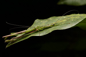 Stick Insect (Chlorobistus sp) pair mating at night, Gunung Penrissen, Borneo, Malaysia  -  Chien Lee