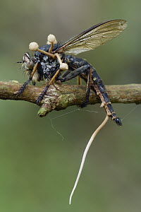 Fungus (Ophiocordyceps dipterigena) parasitic mushrooms emerging from robber fly after it has consumed its interior, Tangkoko Nature Reserve, Indonesia - Chien Lee