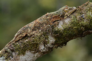 Sabah Flying Gecko (Ptychozoon rhacophorus) camouflaged on branch, Pulong Tau National Park, Borneo, Malaysia  -  Chien Lee
