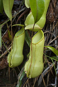 Miraculous Distilling Plant (Nepenthes distillatoria) pitchers, Sinharaja Forest Reserve, Sri Lanka  -  Chien Lee