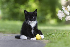 Domestic Cat (Felis catus) kitten playing with rubber ball in garden, Lower Saxony, Germany  -  Duncan Usher