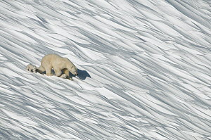 Polar Bear (Ursus maritimus) mother and cubs in snow, Wrangel Island, Russia. Sequence 1 of 3  -  Sergey Gorshkov