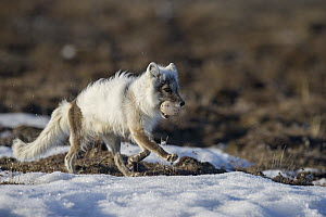 Arctic Fox (Alopex lagopus) running with a Snow Goose (Chen caerulescens) egg in its mouth, Wrangel Island, Russia  -  Sergey Gorshkov