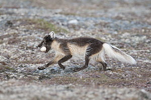 Arctic Fox (Alopex lagopus) running with a stolen Long-tailed Jaeger (Stercorarius parasiticus) egg in its mouth, Wrangel Island, Russia  -  Sergey Gorshkov