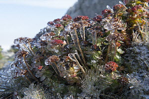 Roseroot Stonecrop (Rhodiola rosea) covered in ice, Wrangel Island, Russia - Sergey Gorshkov