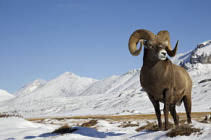 Bighorn Sheep (Ovis canadensis) ram in alpine zone, northern Rocky Mountains, Canada - Donald M. Jones