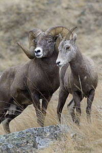 Bighorn Sheep (Ovis canadensis) ram and female, western Montana - Donald M. Jones