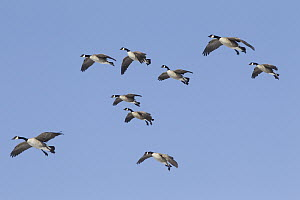 Canada Goose (Branta canadensis) flock flying, central Montana  -  Donald M. Jones
