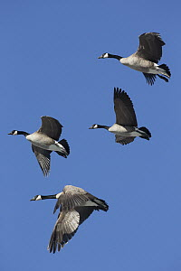 Canada Goose (Branta canadensis) group flying, central Montana  -  Donald M. Jones