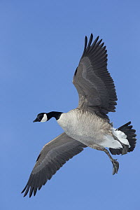 Canada Goose (Branta canadensis) flying, central Montana  -  Donald M. Jones