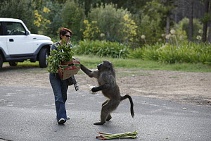 Chacma Baboon (Papio ursinus) stealing mango from shopper, Cape Town, South Africa. Sequence 4 of 6  -  Cyril Ruoso