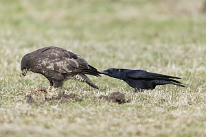 Carrion Crow (Corvus corone) harassing Common Buzzard (Buteo buteo) while feeding on carrion, Germany  -  Duncan Usher