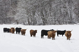 Highland Cattle (Bos taurus) and Aberdeen Angus Cattle (Bos taurus) herd in winter, Germany  -  Duncan Usher