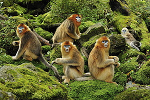 Golden Snub-nosed Monkey (Rhinopithecus roxellana) troop, Qinling Mountains, Shaanxi, China  -  Thomas Marent
