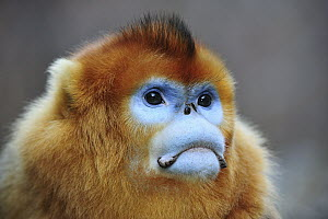 Golden Snub-nosed Monkey (Rhinopithecus roxellana) male, Qinling Mountains, Shaanxi, China - Thomas Marent