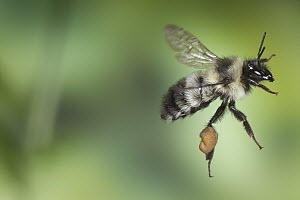 Bumblebee (Bombus sp) flying with large pollen baskets, Cherokee National Forest, Tennessee  -  Michael Durham