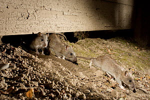 Brown Rat (Rattus norvegicus) trio emerging from hole in suburban yard at night, Portland, Oregon - Michael Durham