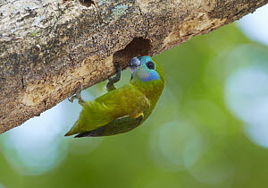 Double-eyed Fig-Parrot (Cyclopsitta diophthalma) female at its nest in a hollowed-out branch, Port Douglas, Queensland, Australia  -  Martin Willis