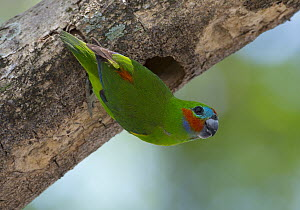 Double-eyed Fig-Parrot (Cyclopsitta diophthalma) at its nest in a hollowed out branch, Port Douglas, Queensland, Australia  -  Martin Willis